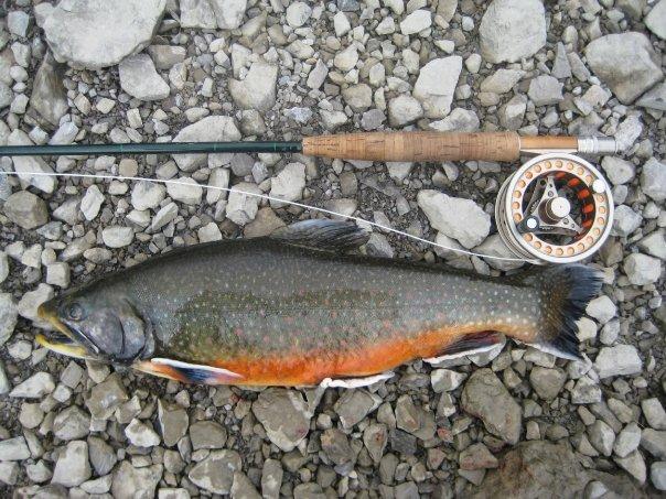 zlatovcica uz tekst o ribama