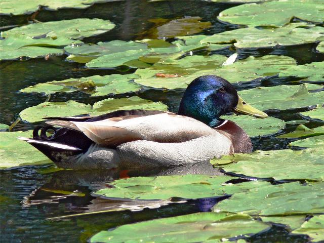 Duck-and-Lily-Pads