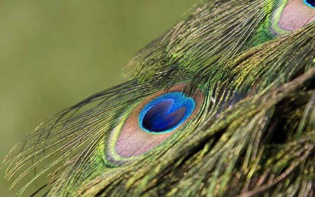 peacock-tail-feathers
