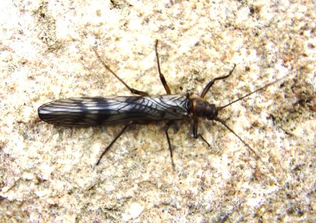 Brashyptera risi