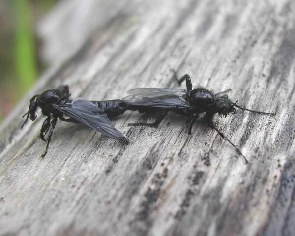 Crne prolećne mušice