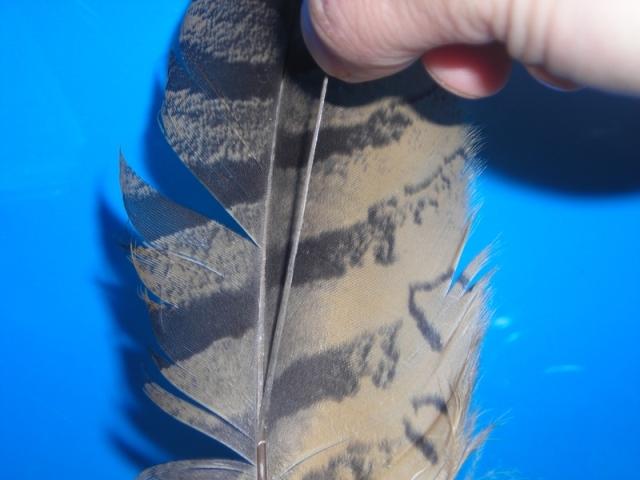 odvajanje dela badrljice sovinog pera