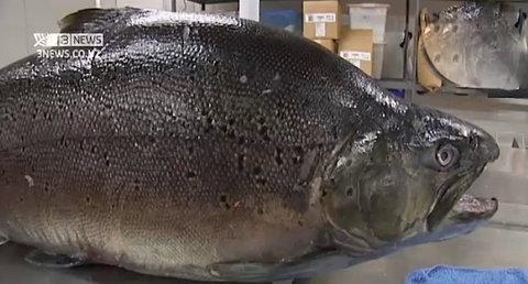 Novi Zeland – 19.1kg Brown Trout