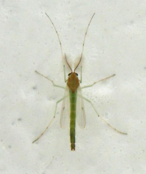 veci zeleni dvokrilac 6 mm web