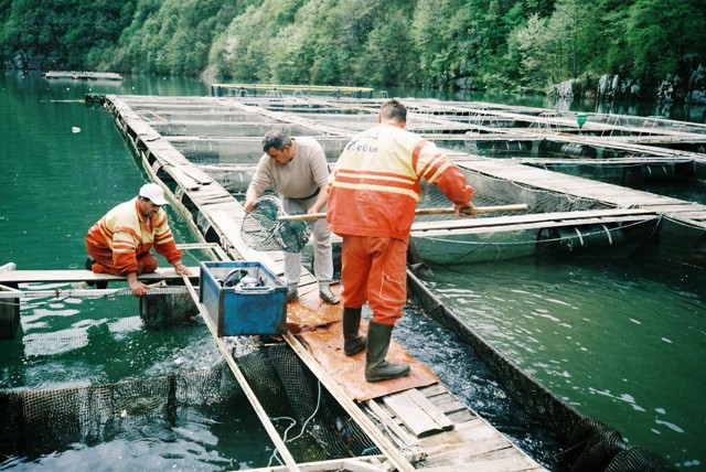 4. Rucno sortiranje ribe na kavezima web