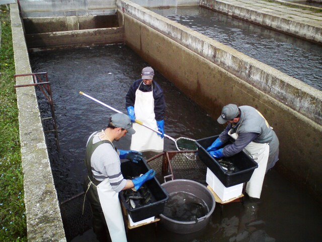 5. Rucno sortiranje mladjih uzrasta ribe u betonskim bazenima web