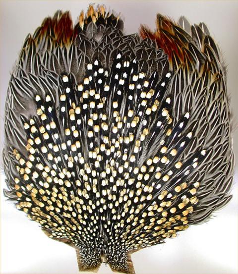 Junglecock perje web