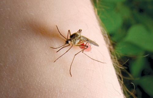 komarac ujeda