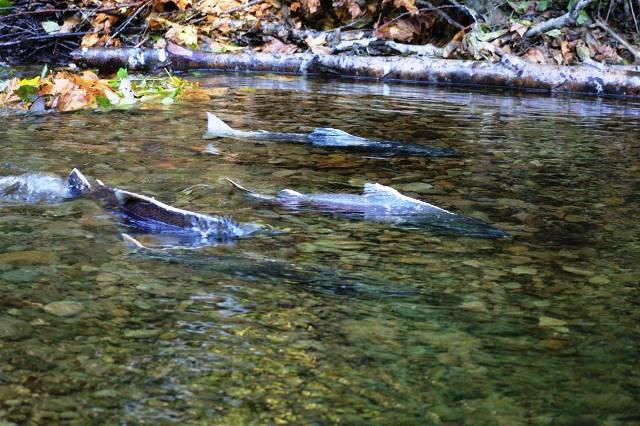 ketchikan-salmon-fishing