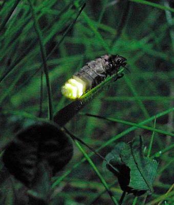 glow-worm 1