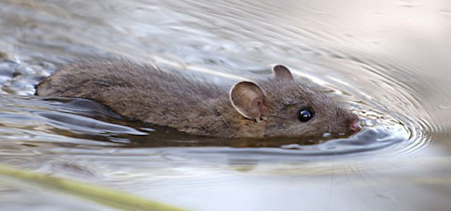 bass-bug-swimming-mouse