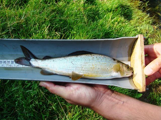 merenje duzine ribe web6