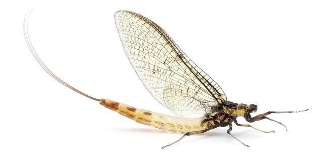 mayfly-web
