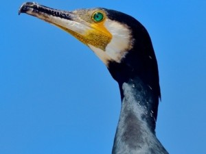 kormoran web