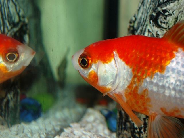 Kako zlatne ribice reaguju na ogledalo?