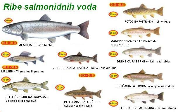 Ribe salmonidnih voda Srbija