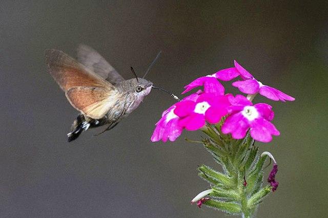 leptiric kolibric