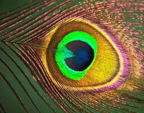 peacock feather eye close-up beautiful background