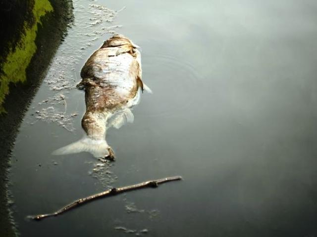 uginule ribe web1