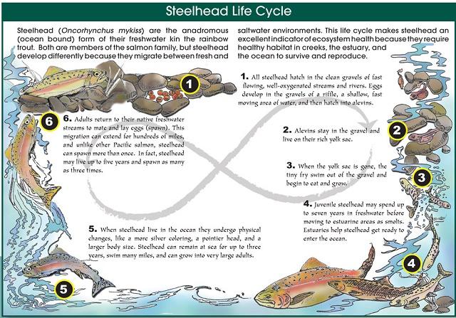 Steelhead-Lifecycle