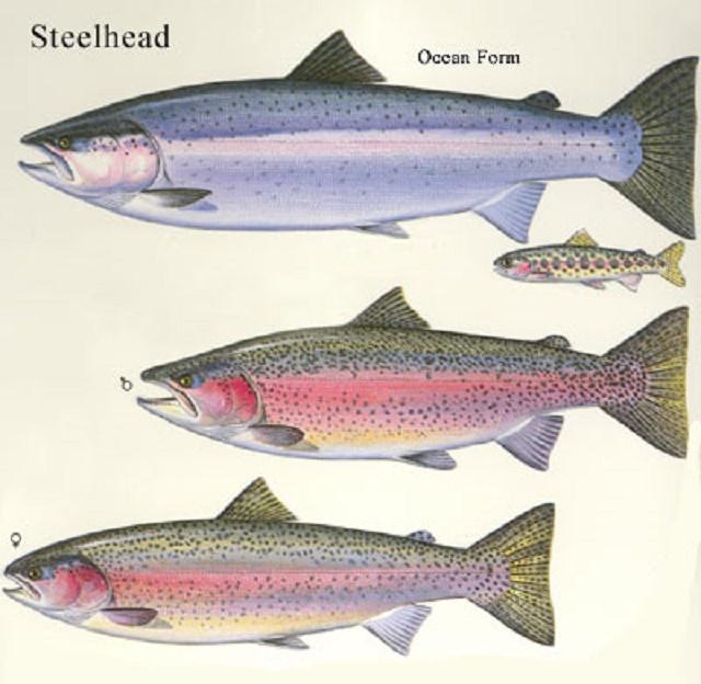 steelhead-allforms
