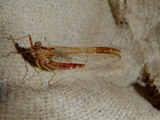Mayfly (Cloeon cognatum)