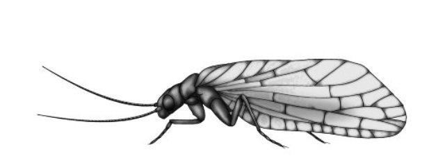 Alderfly crtez web
