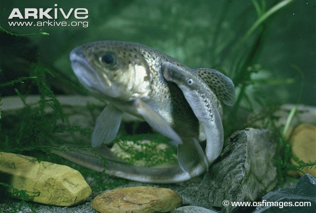 Photo from ARKive of the River lamprey (Lampetra fluviatilis) - http://www.arkive.org/river-lamprey/lampetra-fluviatilis/image-A5122.html