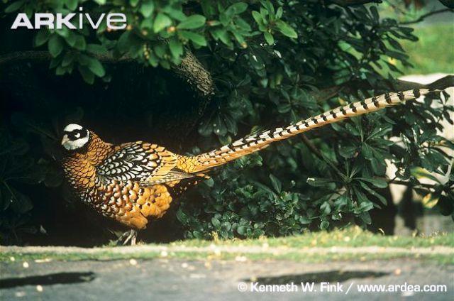 fazan-vrste-web-5