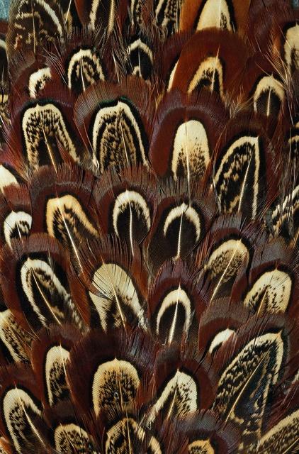 pheasant-perje