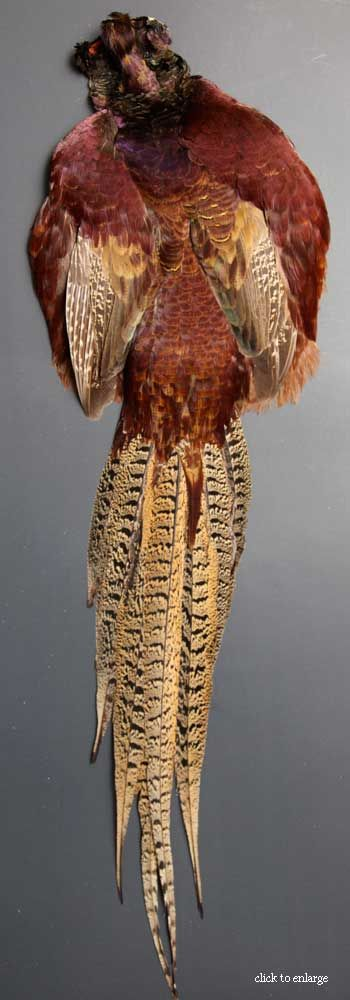 ringneck-pheasant