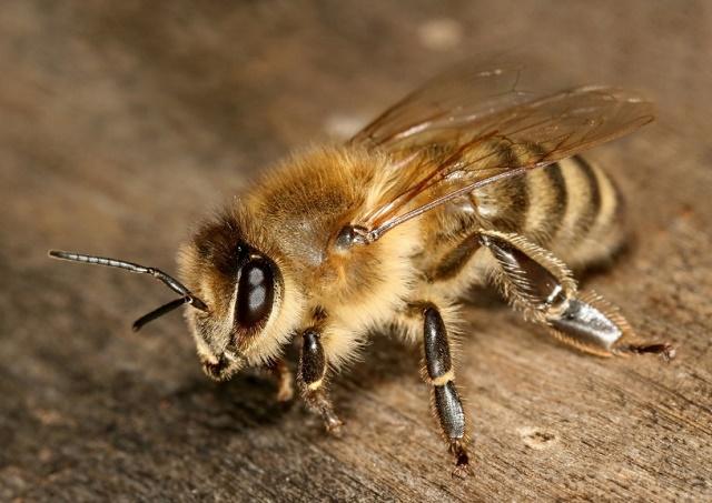 Pčele su uz ljude još od kamenog doba