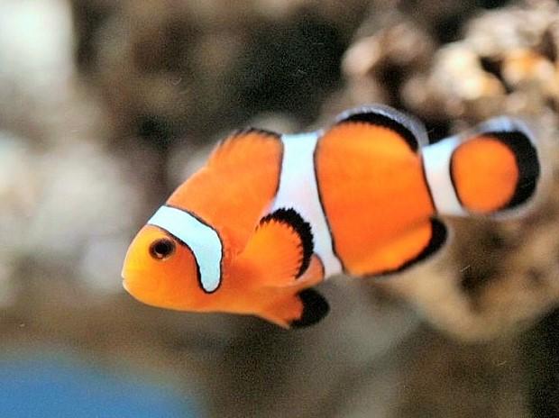 Riba Klovn može da menja pol