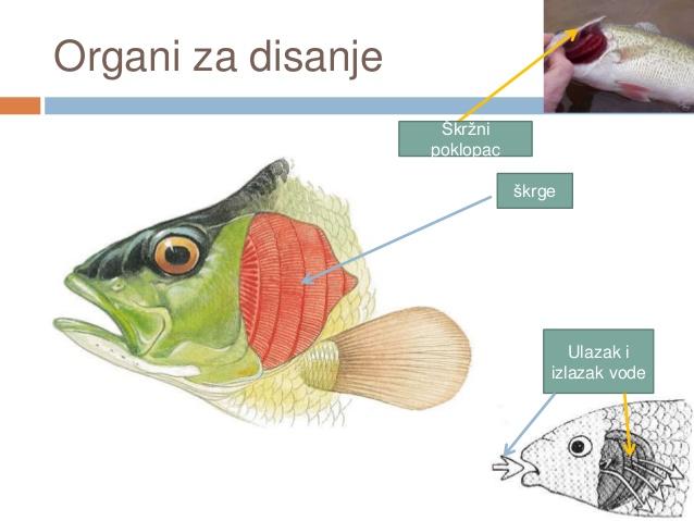 Kako ribe dišu pod vodom?