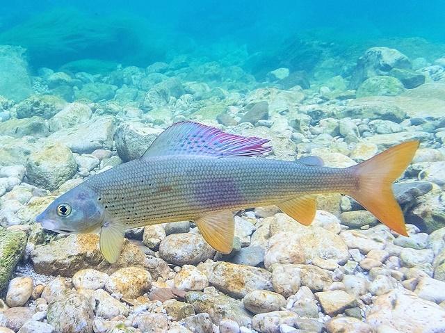 Lovostaj pojedinih vrsta riba zbog mresta u aprilu