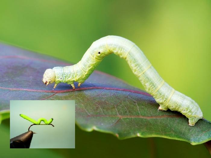Imitacija zelene gusenice – Inchworm