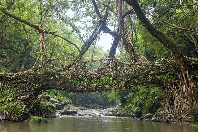 U Indiji uzgajaju mostove
