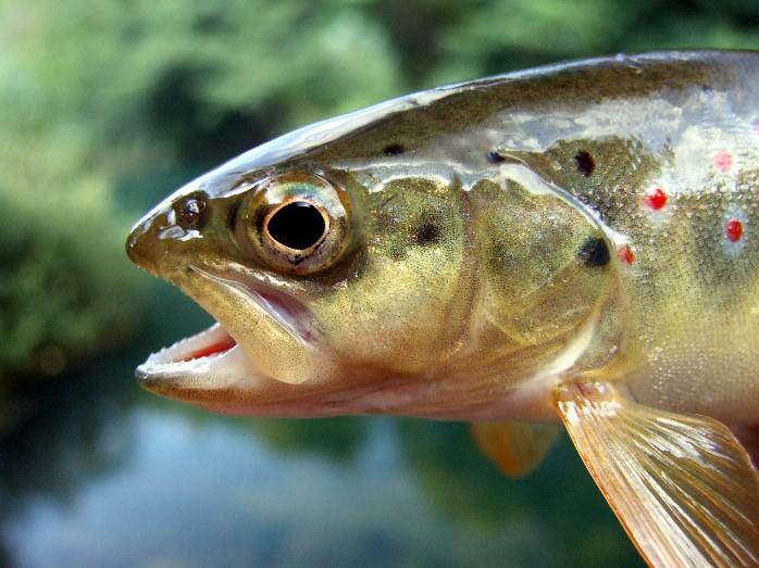 Istrebljenje slatkovodnih riba