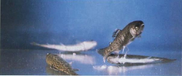 Spavajuća bolest salmonida