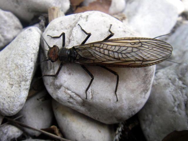 Entomologija III: Kamenjarke