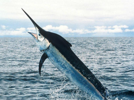 Crni Marlin je najbrža riba na svetu