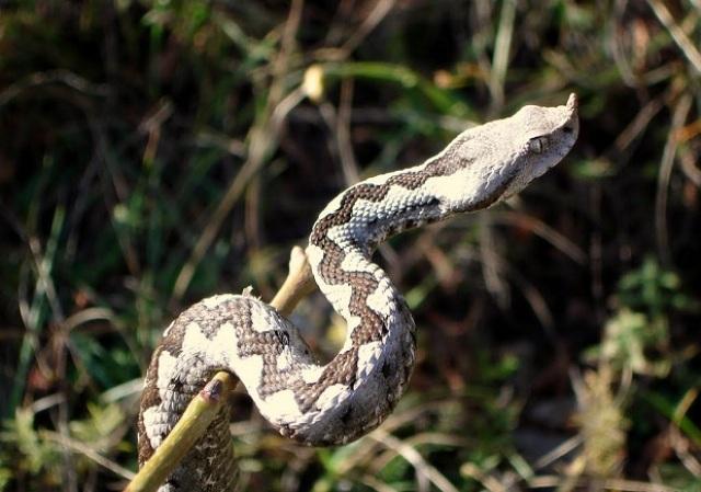 Poskok – najotrovnija zmija u regionu