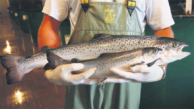 Potrošači u strahu od GM lososa