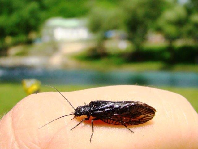 Jošavka – Alder fly