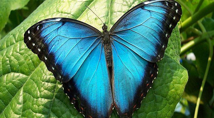 Da li leptiri žive samo jedan dan?