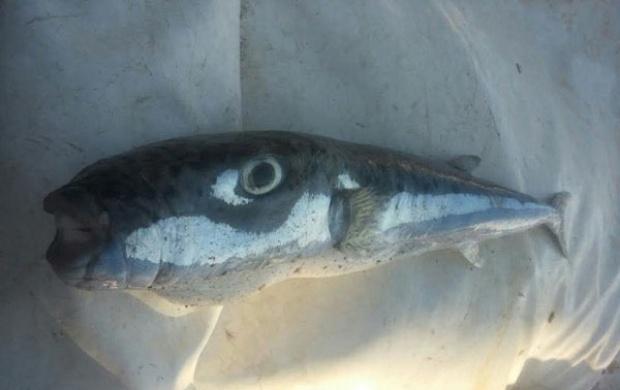 Kod Budve ulovljena veoma otrovna riba