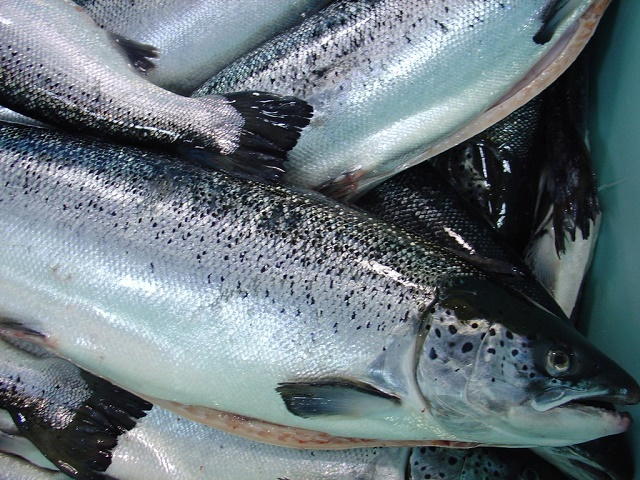 Jedan losos skuplji nego barel nafte
