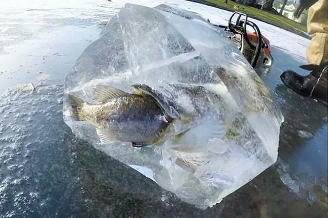 Ribolovci pronašli ribe zaleđene u trenutku napada na plen