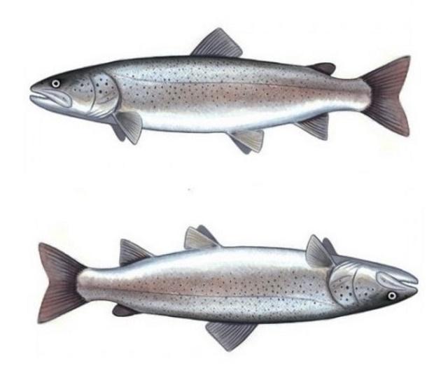 Lovostaj zbog mresta riba u avgustu