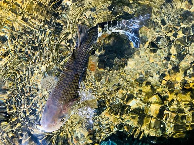 Mušičarenje klena na reci Ribnici